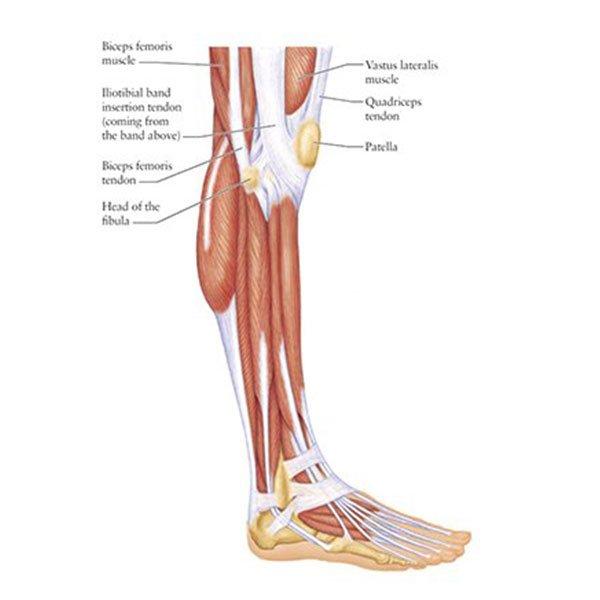Músculos da Panturrilha